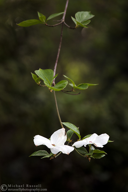 Eddie's White Wonder Dogwood flowers (a hybrid between Cornus nuttallii x Cornus florida).  This hybrid was developed between the Pacific Dogwood and the Flowering Dogwood partly to avoid the fungus that damages the Pacific Dogwood.