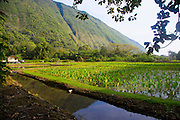 Taro field, Waipio Valley, Big Island of Hawaii