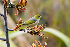 Silvereye, Zosterops lateralis, New Zealand