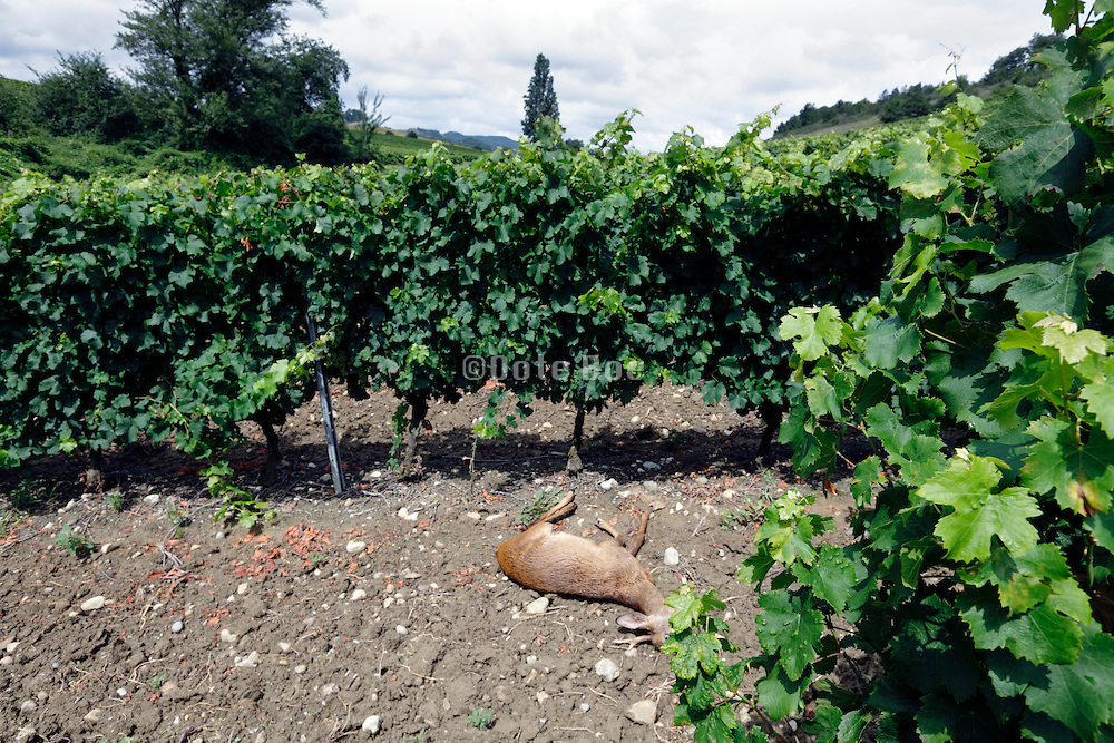 dead deer in vineyard