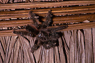 Tarantula Close-up, on thatched roof; Amazonia, Peru