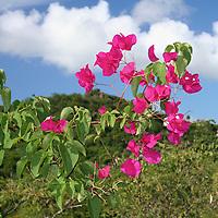Frangipani flower on Water Island, St. Thomas, USVI.
