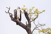 Martial Eagle, Kruger, South Africa