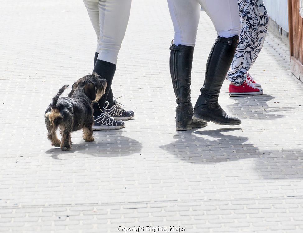Wire haired dachshund behind it's owners at a Horse competition in The Czech republic.