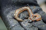 Sandworm (Nereis virens or Alitta virens), Frazer Point, Acadia National Park, Maine.