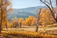 Sheep, fall, Bitterroot Moutains, Hamilton, Montana