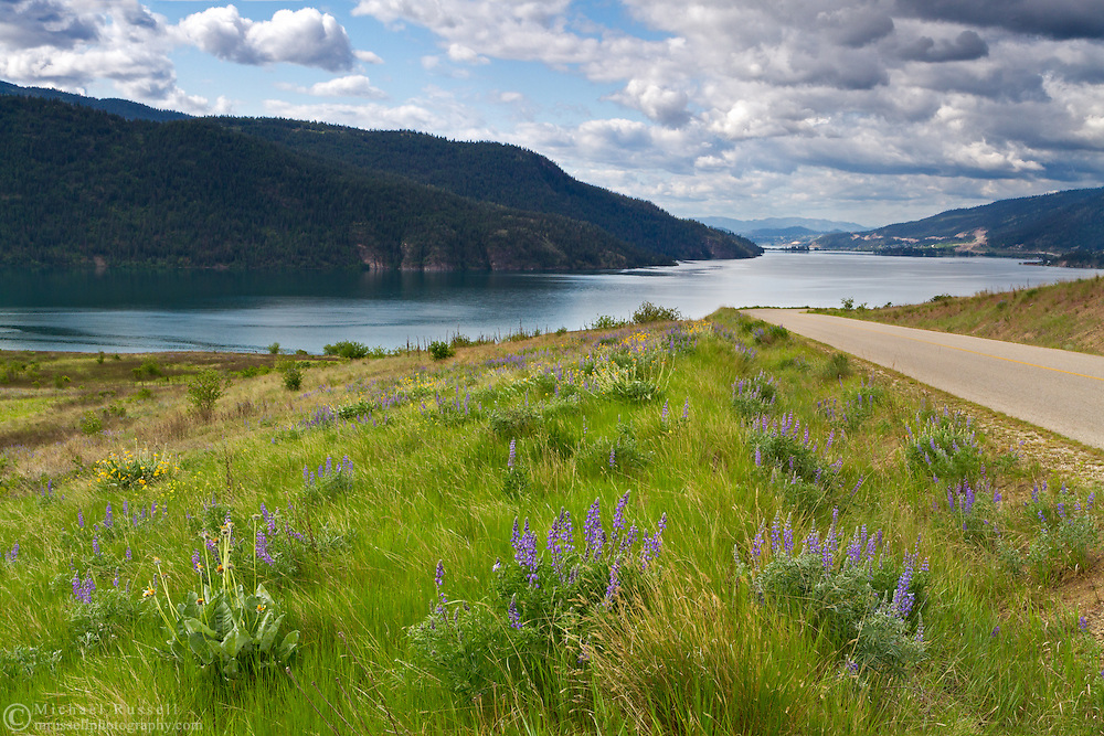 Lupines by the road to Kekuli Bay Provincial Park on Kalamalka Lake near Vernon, British Columbia, Canada
