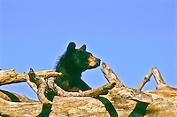 Black Bear (Ursus americanus).  Their color ranges from black to cinnamon.  Primarily nocturnal, but are often seen during the day.  Males are up tp 600 lbs.  and females up to 350 lbs.  South Dakota