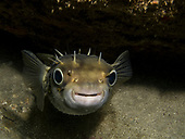 Diodontidae: Porcupinefishes