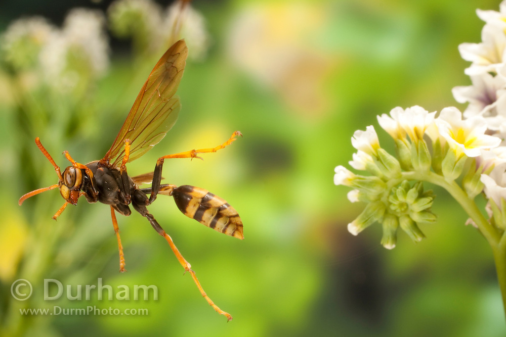 A polistes paper wasp (Polistes sp.) flies near a salt heliotrope flower. Photographed in the high-desert of Washington, at The Nature Conservancy's Whisper Lake Preserve.