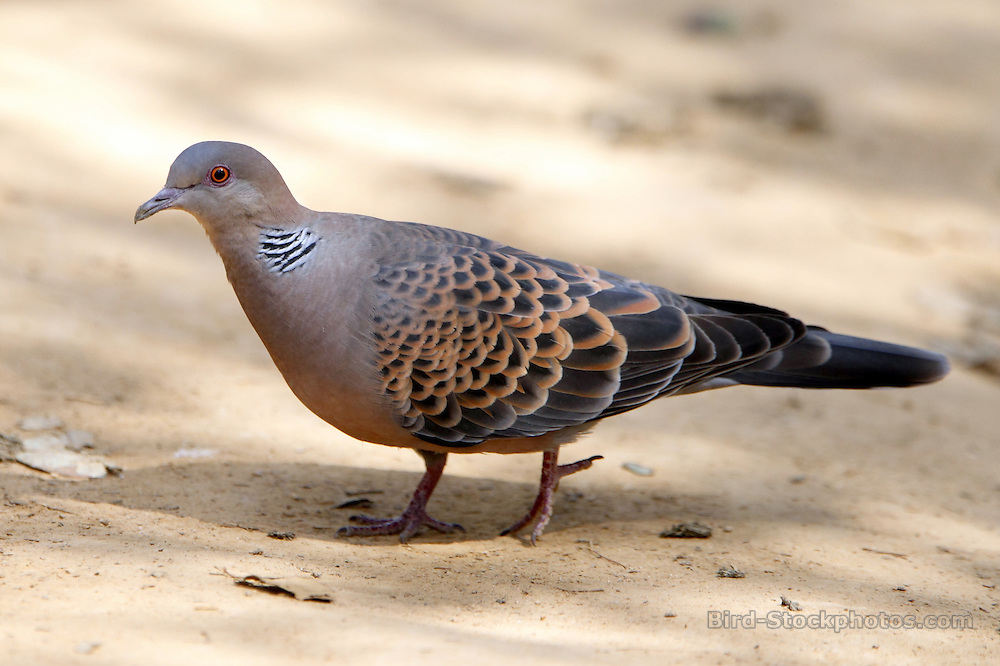 Oriental Turtle Dove, Streptopelia orientalis, Bhutan, by Paul Ellis