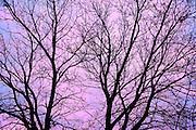 Branches of a sliver maple at sunrise<br /> Winnipeg<br /> Manitoba<br /> Canada
