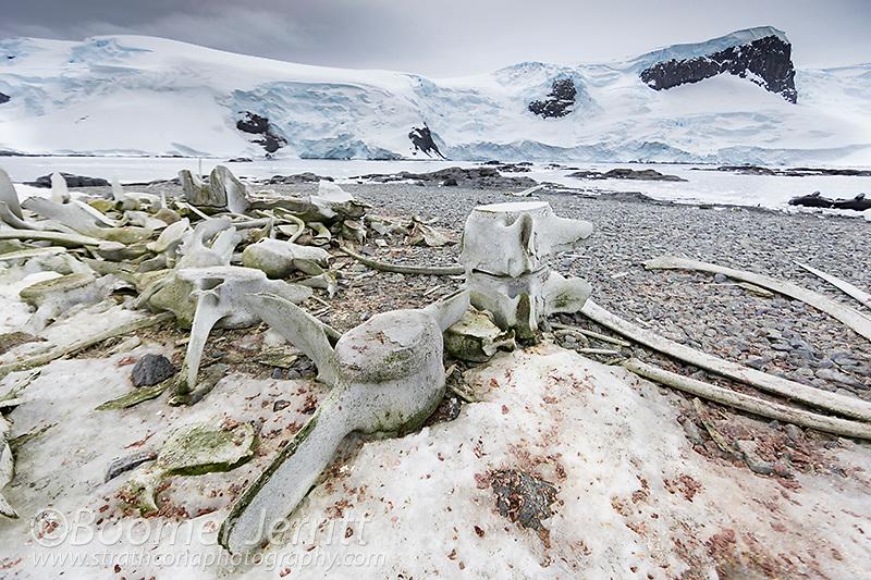 Whale bones meet visitors to Mikkelson Harbour on Trinity Island.  The Antarctic Peninsula,Antarctica.