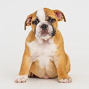 20161027 english bulldog puppies