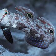 A crab-eyed goby in shallow water at Ngchuus Beach, Ngeruktabel Island, Palau