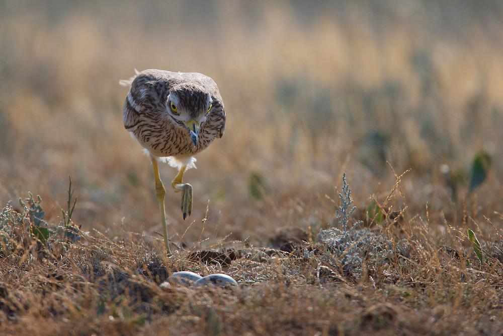 Stone-curlew at nest, Bagerova Steppe, Kerch Peninsula, Crimea, Ukraine