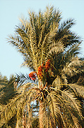 A palm tree Phoenix dactylifera plantation with ripe dates, in the Jordan Valley near the Sea of Galilee