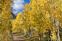 Aspen trees line Hermit Pass Road in the Sangre de Cristo mountain range on a brilliant autumn day