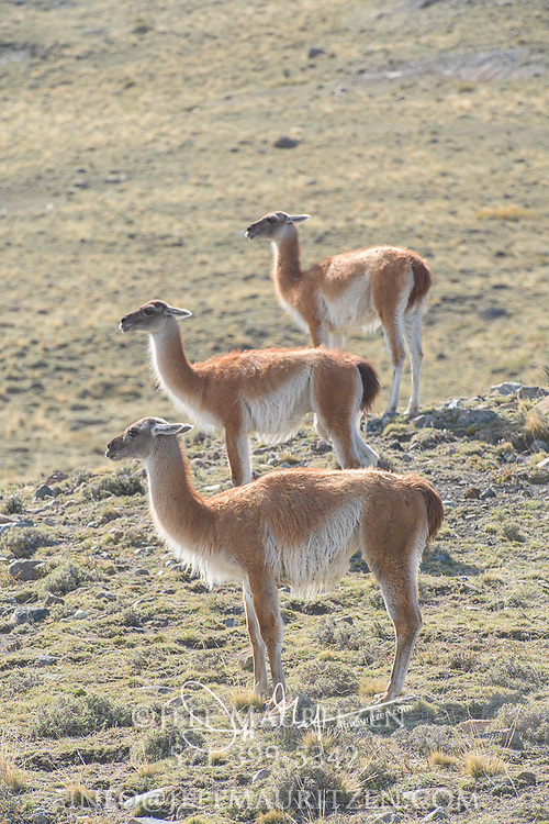 Three Guanaco in Torres del Paine National Park, Chile.