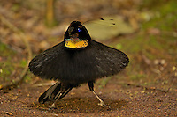 Western Parotia Bird of Paradise (Parotia sefilata).  Adult male at its display court, performing ballerina dance. . ..