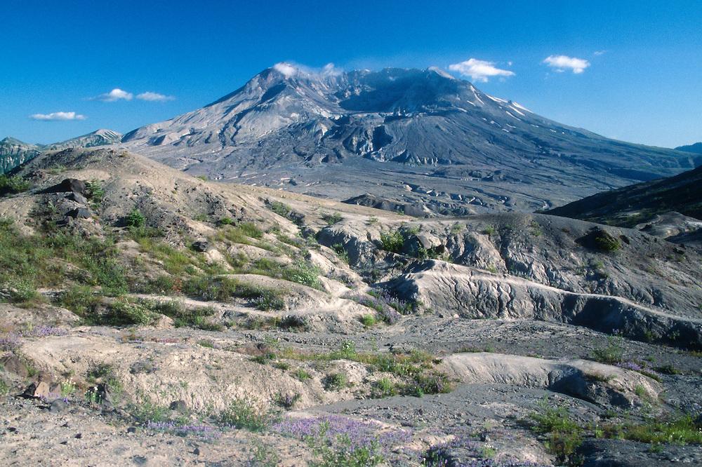 Mt. St. Helens and Broadleaf Lupine (Lupinus latifolius) from the Hummocks Trail, Mt. St. Helens National Volcanic Monument, Washington, US
