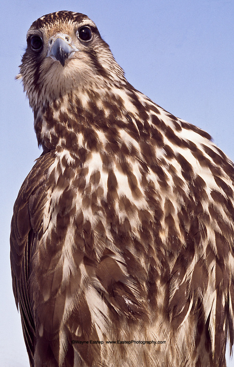 """This rare Balaban Falcon came to the attention of a wealthy Arab Falconer who offered Mr. Turlybayev, the """"Eagle Man"""" $100,000 (about 750,000 Tenge) for it.  He turned the offer down, saying the Falcon belonged in Kazakhstan it home."""