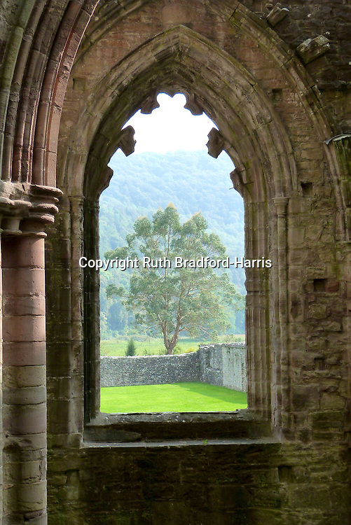 An Acer griseum (Paperbark Maple) tree, perfectly framed by a Gothic window in the ruins of Tintern Abbey, Monmouthshire.<br />