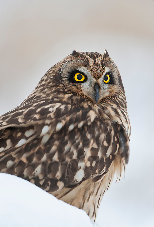 A portrait of a short-eared owl (Asio flammeus) in late Autumn snow, Ninepipe National Wildlife Refuge, Montana