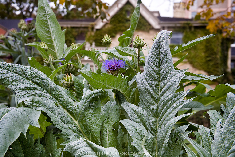 Tropical Annuals: Cardoon (Cynara cardunculus)