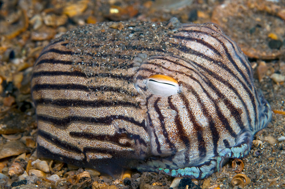 A Striped Pajama Squid (Sepioloidea lineolata) rests on the ocean bottom underneath the jetty in Edithburgh, South Australia.