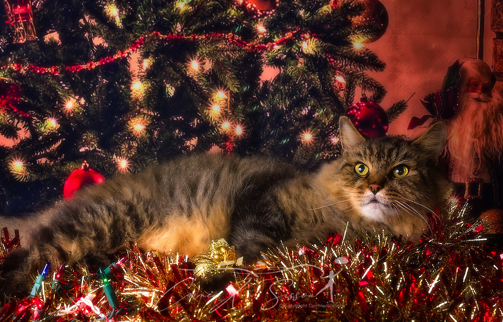 Pretty Boy, a long-haired Maine Coon mix, poses for a Christmas portrait, January 17, 2017, in Coden, Alabama. (Photo by Carmen K. Sisson/Cloudybright)