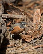 Robin on floor of ponderosa pine forest  swallowing long-horned beetle larvae (ponderosa pine bark borer) picked from under a chunk of bark, © 2014 David A. Ponton