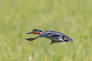 Green-winged teal in flight over montane grassland, Yellowstone National Park, © 2019 David A. Ponton