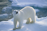Polar Bear on Ice Flow<br />