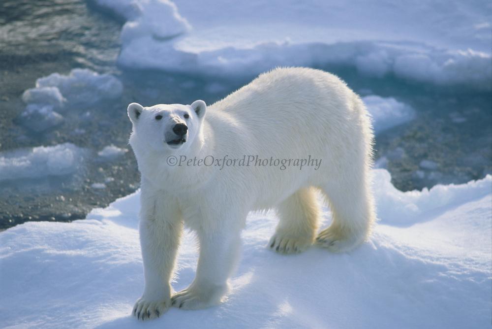 Polar Bear on Ice Flow<br />Ursus maritimus<br />Chuckchi Sea, RUSSIAN FAR EAST