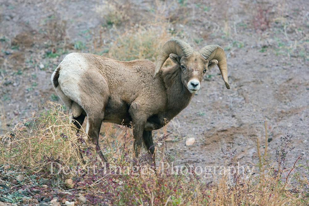 Bighorn Ram<br /> Eagle Creek