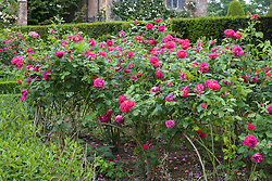 Rosa 'Ulrich Brunner Fils' trained over hoops in the Rose Garden at Sissinghurst Castle