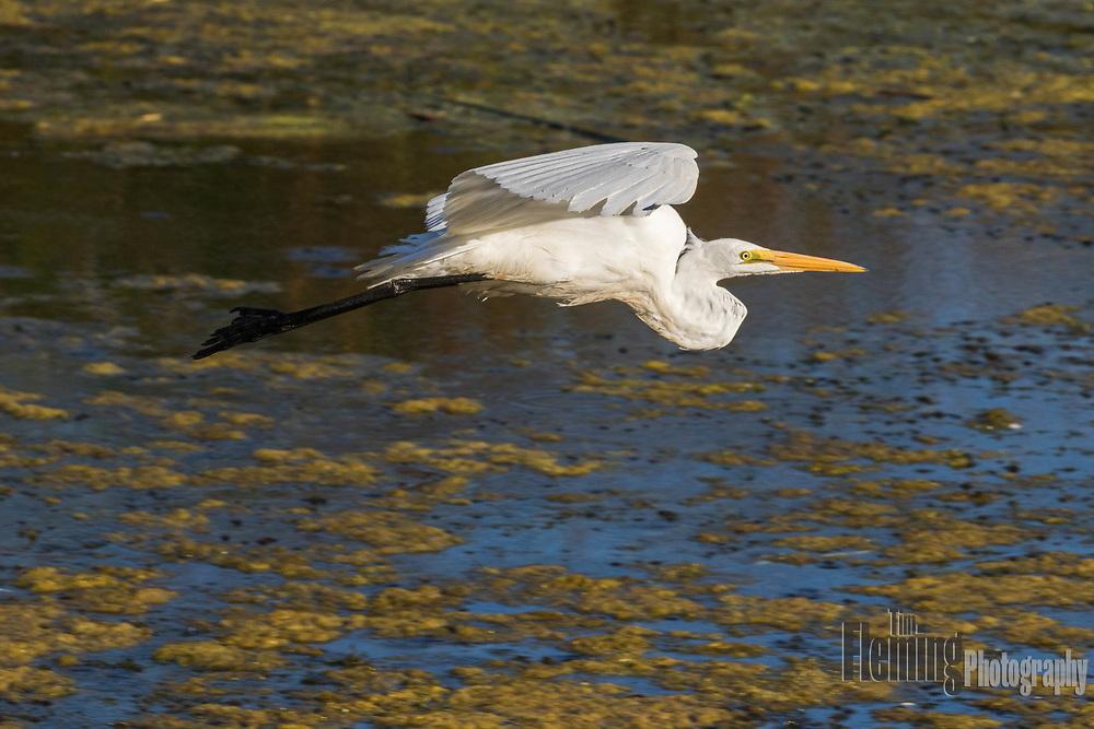 Great egret flying in the Ellis Creek Water Recycling Facility, Petaluma, California.