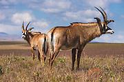 Roan antelopes (Hippotragus equinus), Nyika National Park, Malawi, Africa