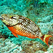 Stoplight Parrotfish swim about reefs and adjacent areas scrapping filamenmtous algae from hard substrates in Tropical West Atlantic; picture taken Key Largo, FL.
