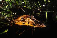 Caiman (Caiman crocodilus), Napo Wildlife Center, Yasuni National Park, Napo Wildlife Center, Quichua Community, Amazonia, Ecuador