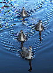 Sygnets swimming at Westport House...Pic Conor McKeown