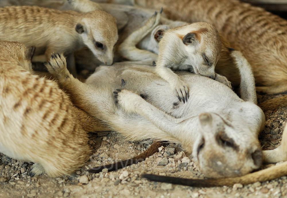 Bis zum Alter von einem Monat werden junge Erdmännchen (Suricata suricatta)  ausschließlich gesäugt.     Suricate or Slender-tailed Meerkat (Suricata suricatta)