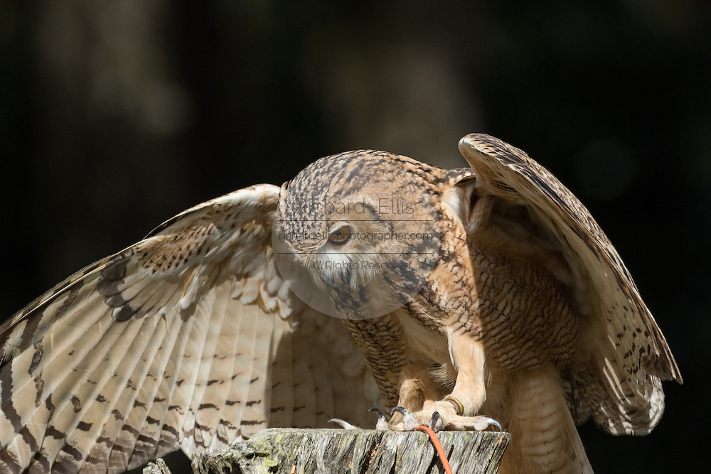 Pharaoh eagle owl at the Center for Birds of Prey November 15, 2015 in Awendaw, SC.