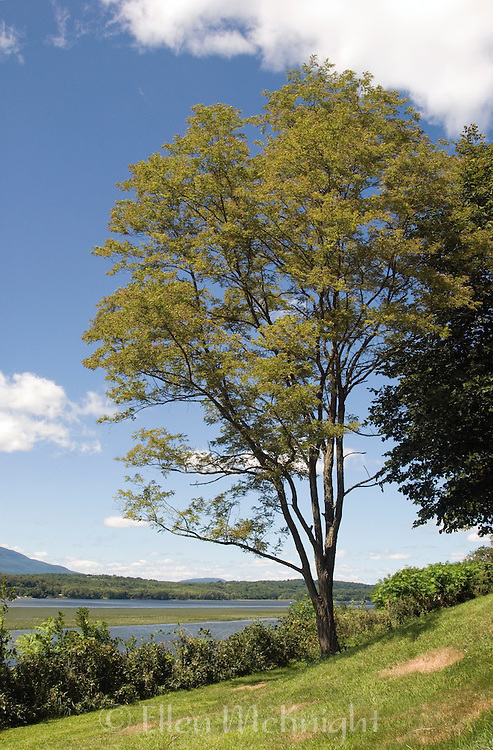 Black Locust Tree on the Bank of the Hudson River