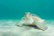 Australian flatback sea turtle, Natator depressus, endemic to Australia and southern New Guinea, Australia