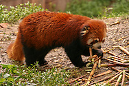 The Red Panda or Ailurus fulgens is a small arboreal mammal and the only species of the genus Ailurus. Slightly larger than a domestic cat, it has reddish brown fur, a long, shaggy tail, and a waddling gait due to its short front legs. It eats mostly bamboo but is omnivorous and may also eat eggs, birds, insects, and small mammals. It is a solitary animal, mainly active from dusk to dawn, and is usually sedentary during the day.