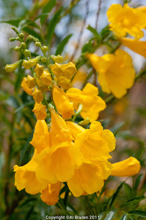 Yellow Bells or Yellow Trumphet (Tecoma stans), Big Bend National Park, Texas