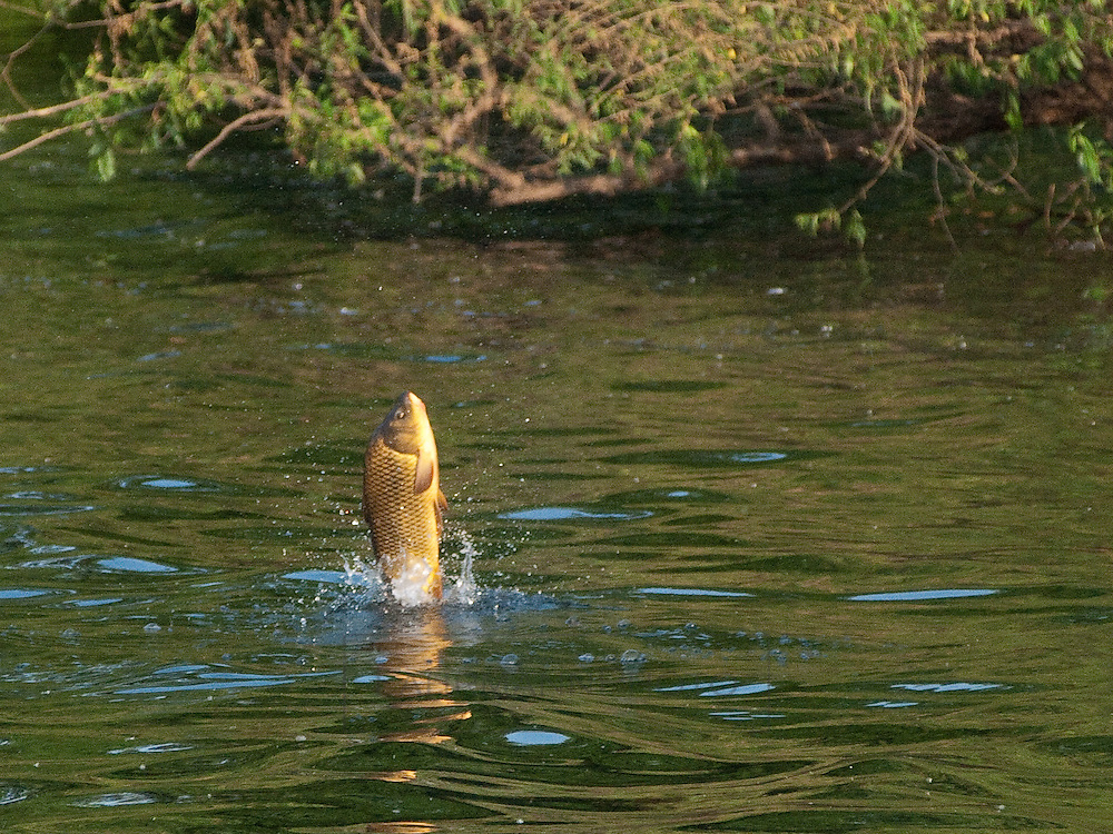 Carp, shortly after mating season, jump out of the water in the early morning hours on Lake Nokomis