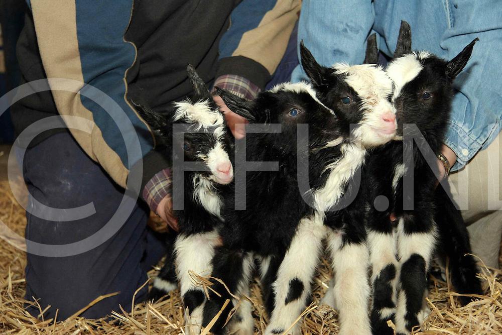060125, dalfsen, ned,<br />4 jonge geitjes geboren in Dalfsen bij de familie Eikelboom gisteren,<br />fotografie frank uijlenbroek&copy;2006 monique kruizinga